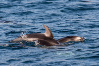 Pacific white-sided dolphin- Lagenorhynchus obliquidens