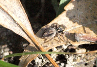 Jumping spider 4  - Unidentified sp.