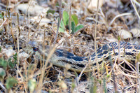 Gopher snake - Pituophis catenifer