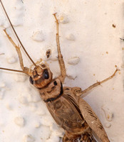 Tropical house cricket - Gryllodes supplicans