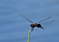 Black Saddlebags -Tramea lacerata