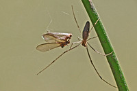 Long-jawed orb weaver - Tetragnatha versicolor