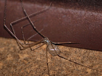 Long-bodied cellar spider - Pholcus phalangiodes