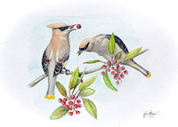 "Cedar Waxwings and ""Christmas Berry"""