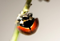 Nine-spotted lady beetle - Coccinella novemnotata