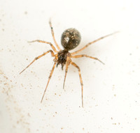 Spider - Unidentified sp. (Family Theridiidae)