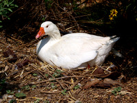 "Domestic Goose - Anser anser ""domesticus"""