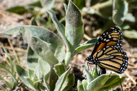 Monarch - Danaus plexippus (ovipositing)