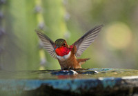 Allen's Hummingbird - Selasphorus sasin