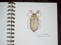 Ten-lined june beetle - Polyphylla decemlineata