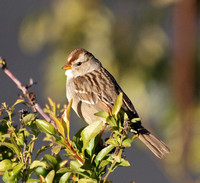 White Crowned Sparrow - Zonotrichia leucophyrs