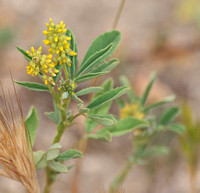 Yellow Sweetclover - Meliotus indicus