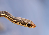 California Striped Racer - Coluber lateralis lateralis