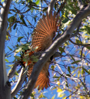Northern Flicker (red shafted) - Colaptes auratus