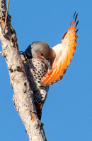 Northern Flicker (red shafted) - Colaptes auratus (male)