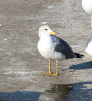 California Gull - Larus californicus (or hybrid)