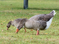 Greater white-fronted Goose - Anser albifrons with Greylag Goose - Anser anser