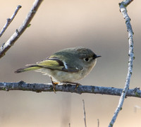 Ruby-crowned Kinglet - Regulus calendula