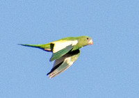 Yellow-chevroned - Parakeet Brotogeris chiriri