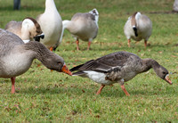 Greater white-fronted Goose getting goosed by Greylag Goose
