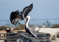 Brown Pelican - Pelecanus occidentalis (immature and adult)