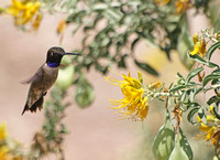 Black-chinned Hummingbird- Archilochus alexandri