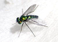 Long-legged fly 4 - Unidentified sp.