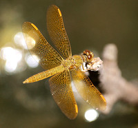 Mexican amberwing - Perithemis intensa