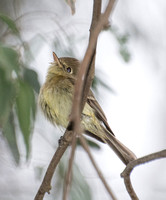 Pacific-slope Flycatcher - Empidonx difficilis