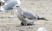California Gull - Larus californicus (2nd Wiinter)