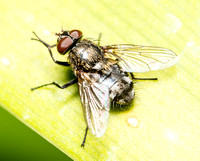 Cluster fly - Pollenia sp