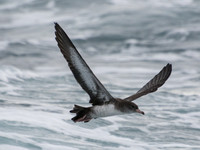 Pink-footed Shearwater - Ardenna creatopus