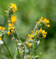 Common Fiddleneck - Amsinckia menziesii