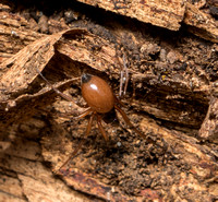 Spider - unidentified (Linyphiidae )