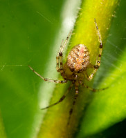 Cobweb spider - Theridion sp