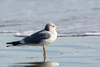Mew Gull - Larus canus (2nd winter)