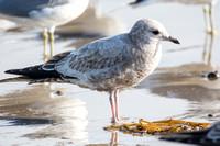 Mew Gull - Larus canus (1st winter)