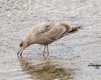 Thayer's Gull - Larus glaucoides ssp. thayeri (1st Winter)