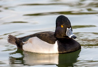 Ring-necked Duck - Aythya collaris