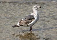 Western Gull - Larus occidentalis