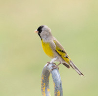 Lawrence's Goldfinch - Spinus lawrencei