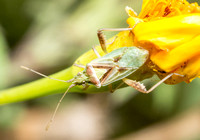 Scentless Plant Bug - Harmostes sp