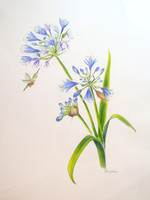 Agapanthus, colored pencil