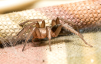 Mouse spider - Scotophaeus blackwalli