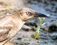 Great-tailed Grackle - Quiscalus mexicanus eating Mantid - Stagmomantis sp