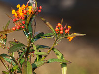 Tropical milkweed - Asclepias currassavica