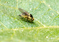 Leaf-miner fly - Liriomyza sp.