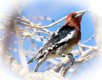 Red-breasted Sapsucker - Sphyrapicus ruber