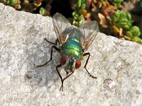 Greenbottle fly - Lucilia sericata