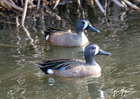 Blue-winged Teal - Spatulata discors